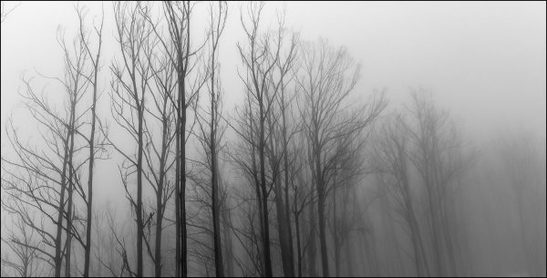 Misty Trees - Great Alpine Road Falls Creek - Charlie Brown